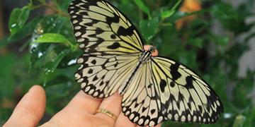Живые тропические бабочки