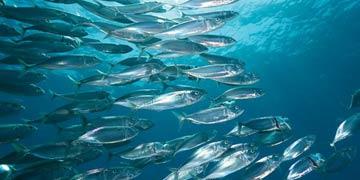 Рыбы дальневосточных морей